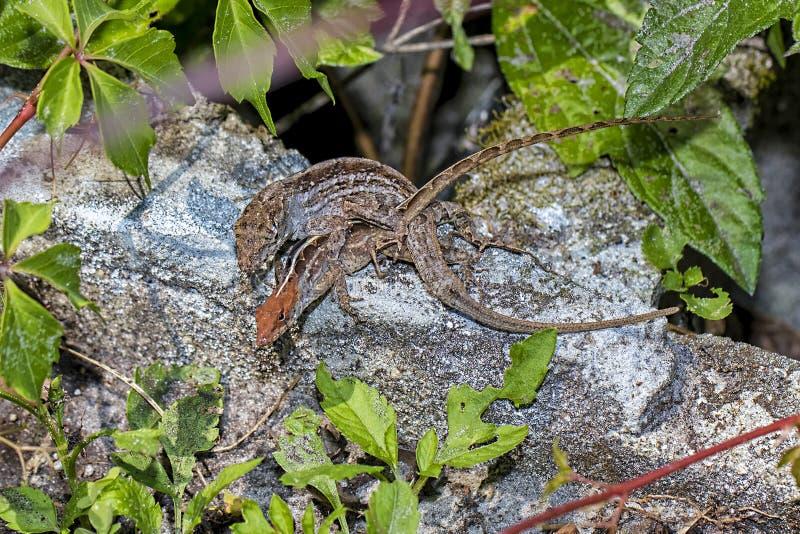 Paires d'accouplement de geckos de Brown image stock