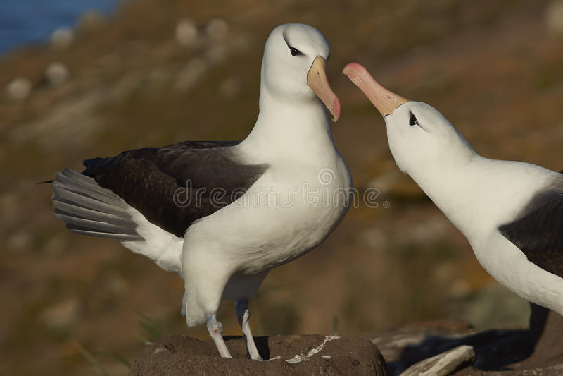 Paires d'albatros Noir-browed - Falkland Islands photo stock