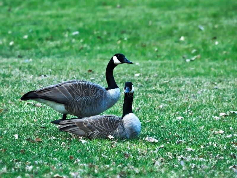 Paires d'oies de Grey Canada sur une pelouse de parc au Minnesota au printemps image libre de droits