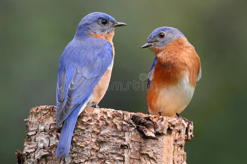 Paires d'oiseau bleu oriental photographie stock libre de droits