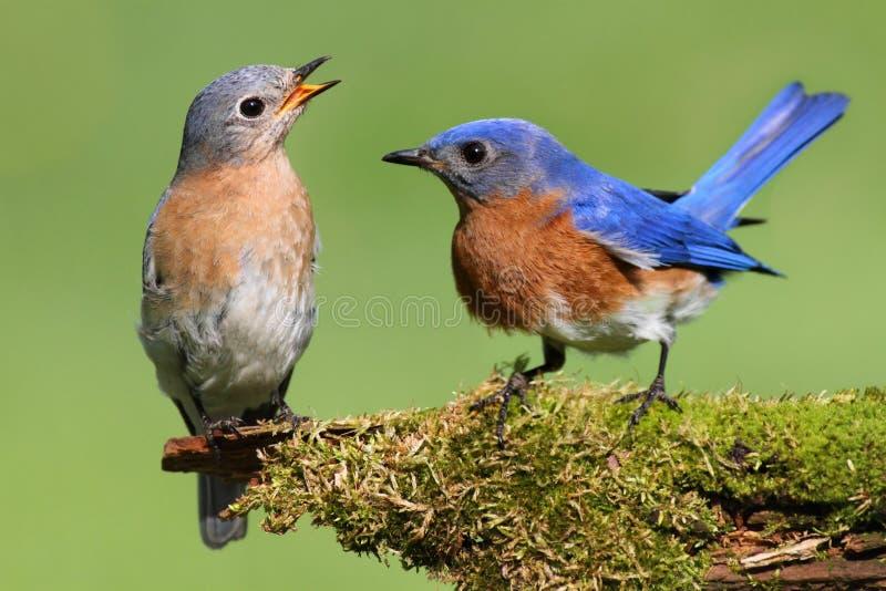 Paires d'oiseau bleu oriental image stock