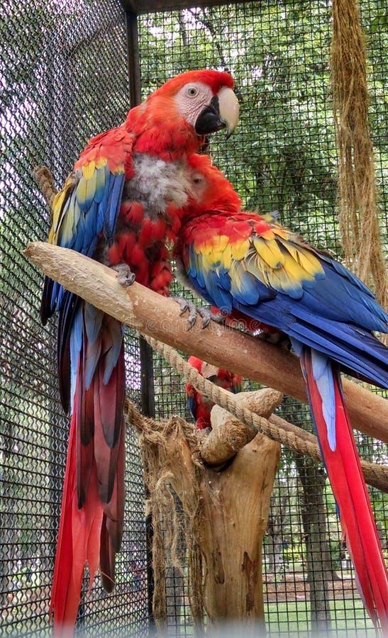 Paires d'oiseaux photos stock