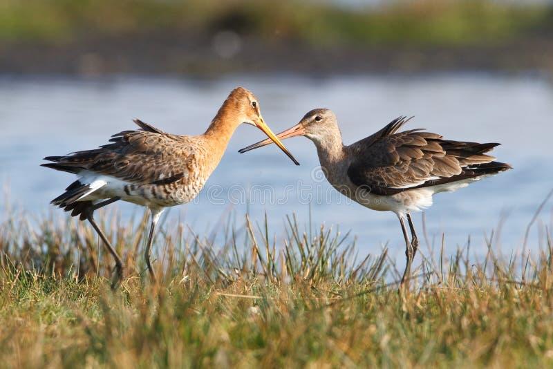 Paires d'oiseaux de marche dans l'eau image libre de droits