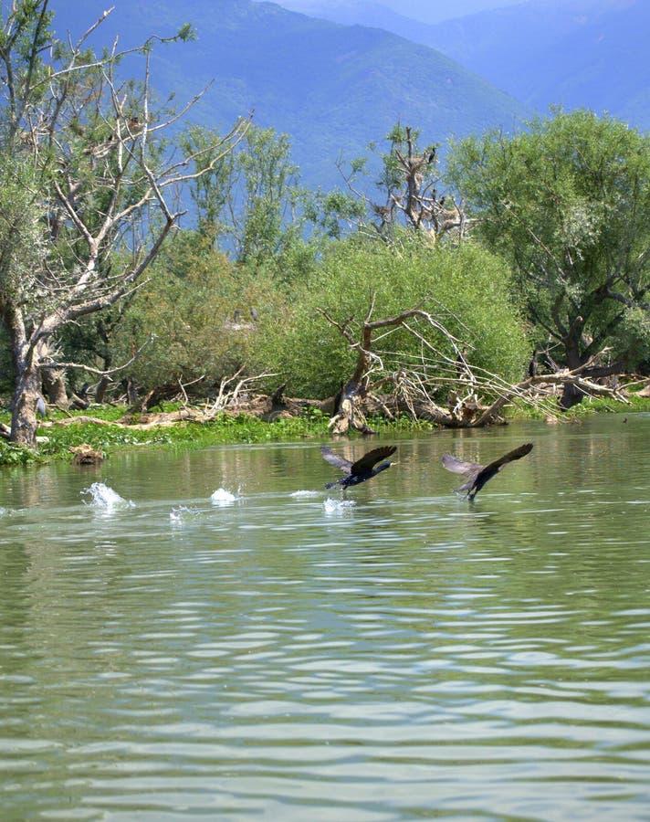 Paires d'oiseaux de vol au-dessus de l'eau photo stock
