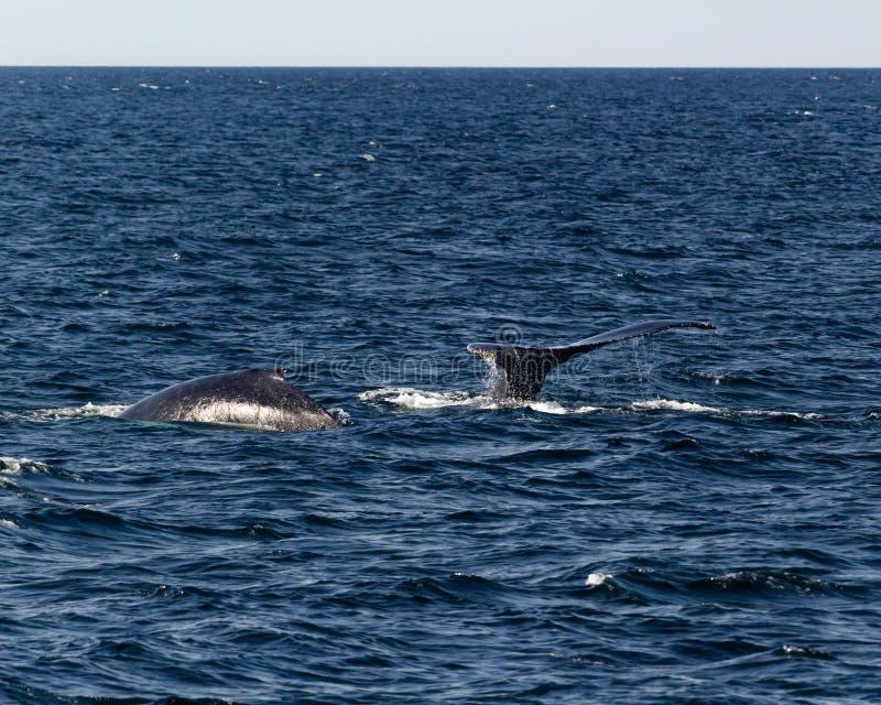 Paires de baleines de bosse de plongée image libre de droits