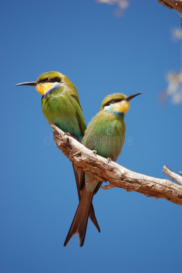 Paires de Bee-eaters Swallow-tailed images libres de droits