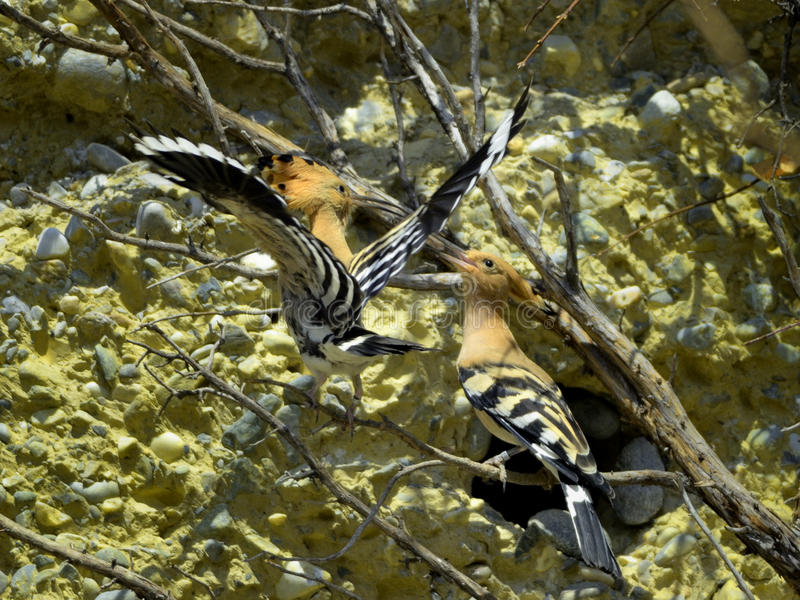 Paires de bords de Hoopoe photographie stock