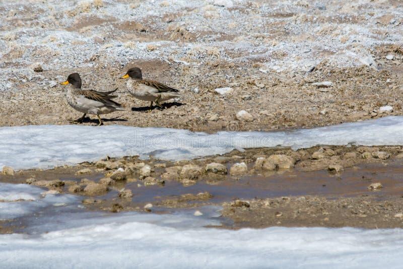 Paires de canard dans l'eau congelée photo stock