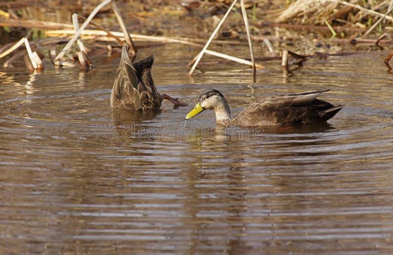 Paires de canards noirs américains image stock