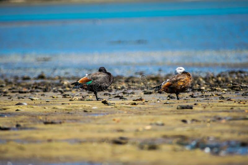 Paires de canards de paradis photo stock