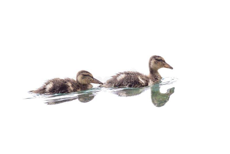 Paires de canetons nageant dans l'eau photo stock