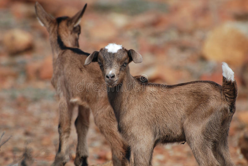Paires de chèvres de bébé équilibrant sur des roches photos stock