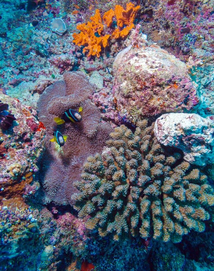 Download Paires De Clown Fishes Près D'anémone Photo stock - Image du fond, exotique: 77157248
