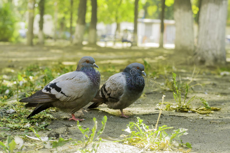 Paires de colombes se tenant au sol, deux colombes image stock