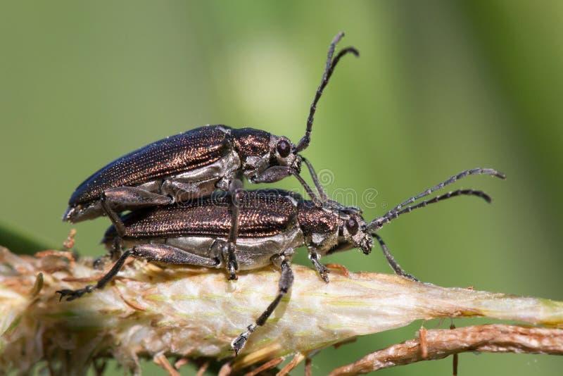 Paires de copuler aquatique de distincta de Donacia de scarabées de feuille photographie stock