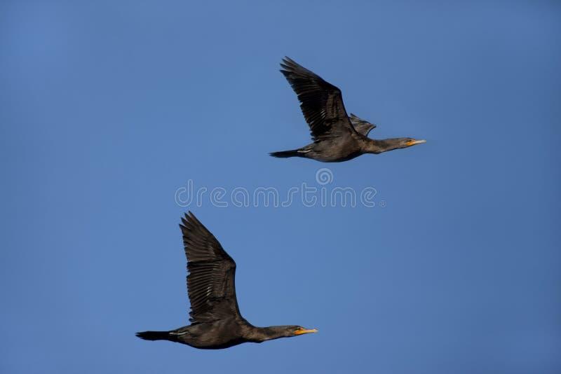 Paires de cormorans. photographie stock