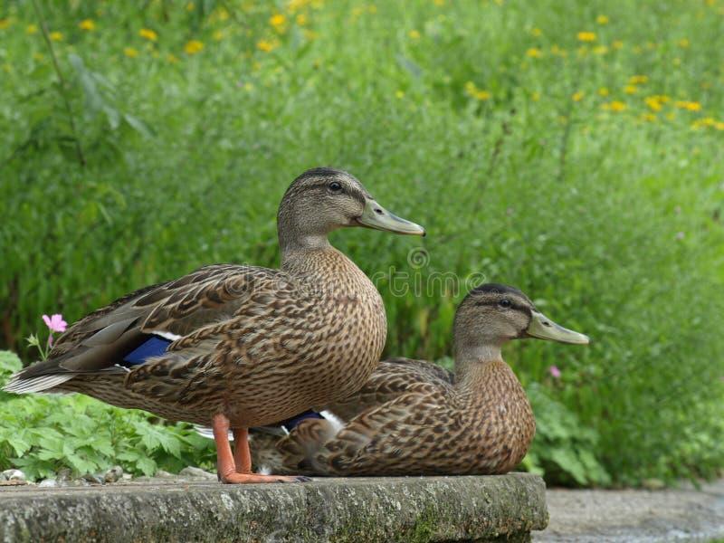 Paires de cour de canards en parc photos libres de droits