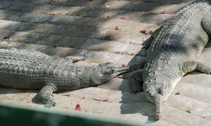 Paires de crocodile d'alligator de Gharial photos libres de droits