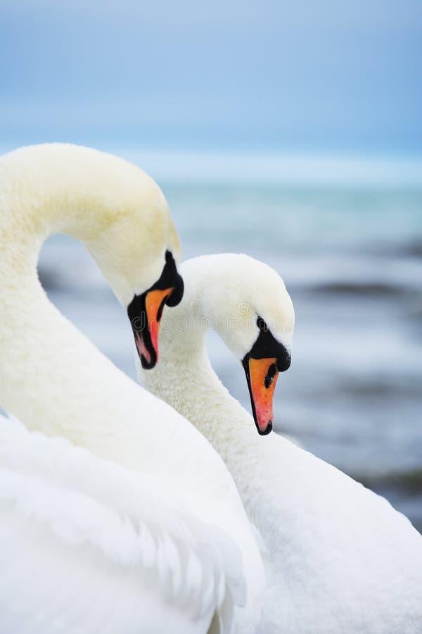Paires de cygnes blancs photographie stock libre de droits