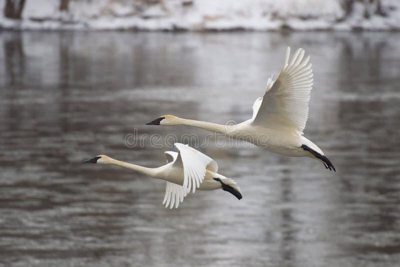 Paires de cygnes d'atterrissage photos stock