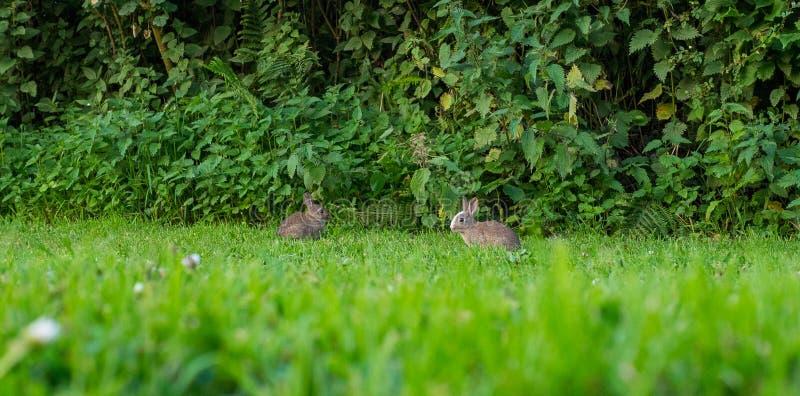Paires de deux lapins de bébé mangeant l'herbe image stock