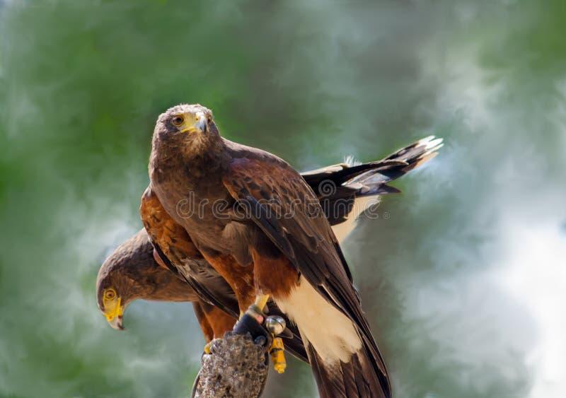 Paires de faucons de Harris sur une perche images libres de droits