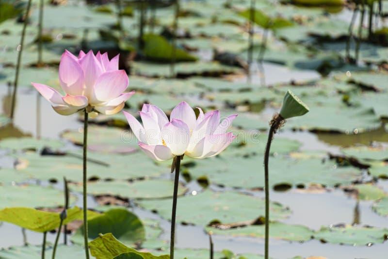 Paires de fleurs et de feuilles roses de lotus images stock