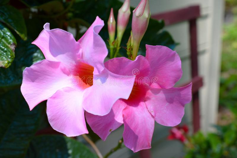 Paires de fleurs roses tropicales de ketmie en pleine floraison image libre de droits