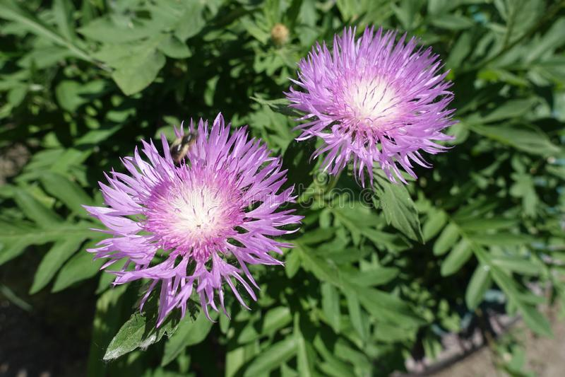 Paires de flowerheads mauve de dealbata de Centaurea photographie stock