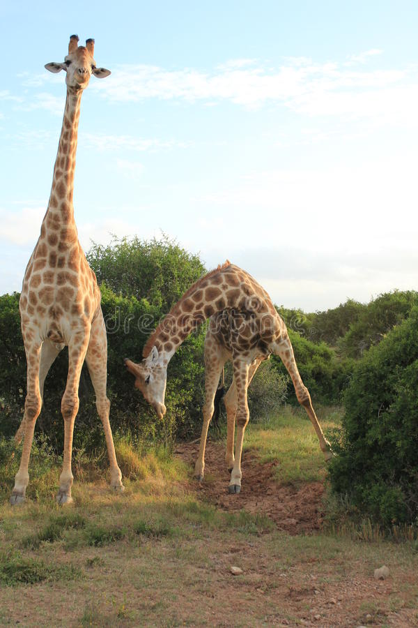 Paires de girafes - cintrage 2 image stock