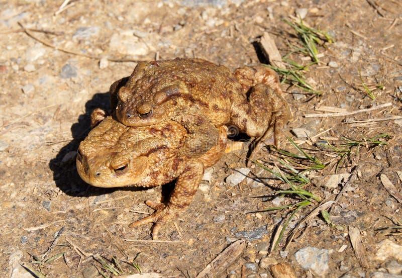 Paires de grenouilles brunes dans la nature image stock