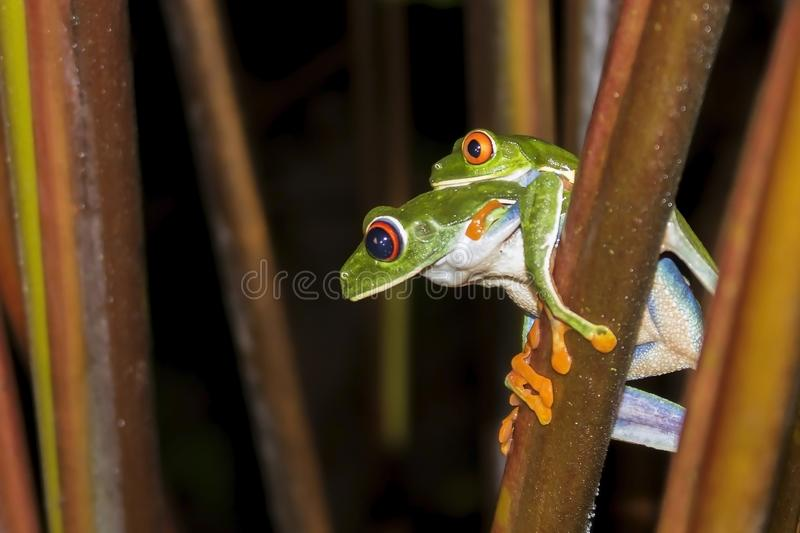 Paires de grenouilles d'arbre observées par rouge joignant la fin vers le haut du profil photos stock