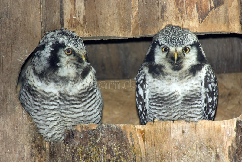 Paires de hiboux de faucon nordiques photographie stock libre de droits