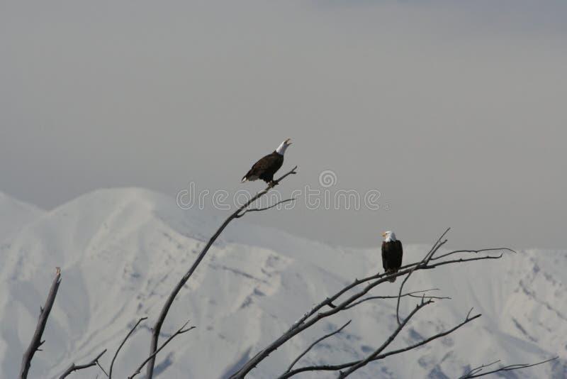 Paires de leucocephalus chauve d'Eagle Haliaeetus photographie stock libre de droits
