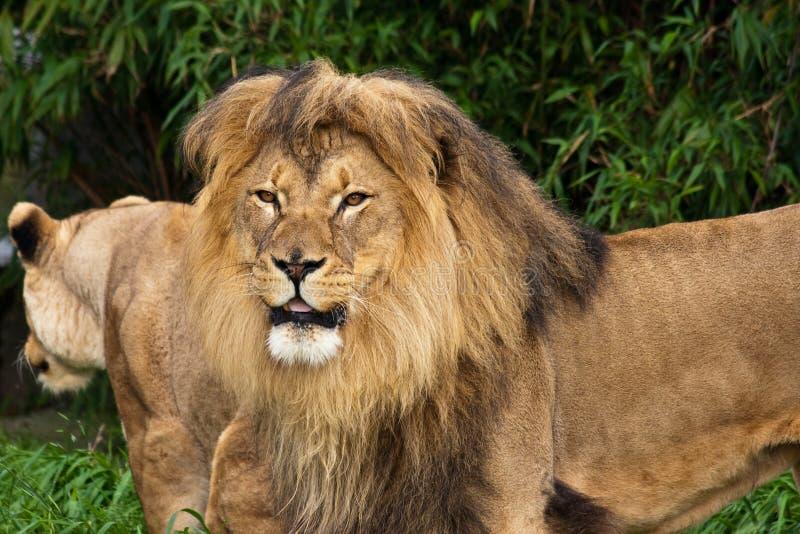 Paires de lion dans le zoo images stock