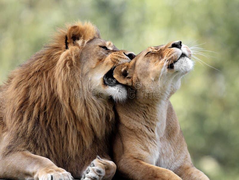 Paires de lions adultes dans le jardin zoologique image stock