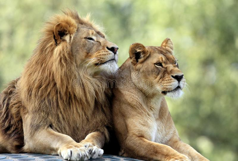 Paires de lions adultes dans le jardin zoologique photo stock