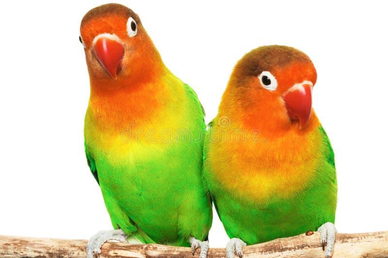Paires de lovebirds photographie stock libre de droits