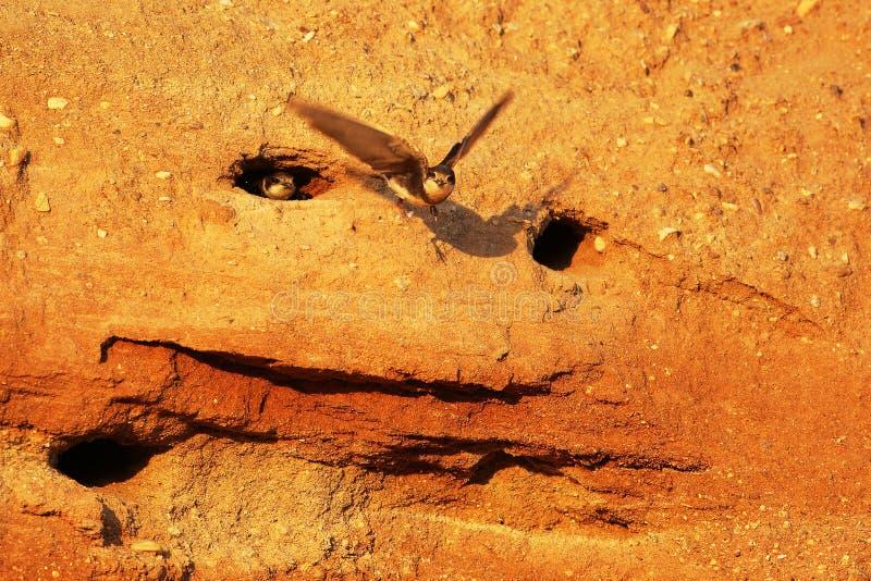 Paires de Martin de sable près de cavité d'emboîtement photographie stock libre de droits