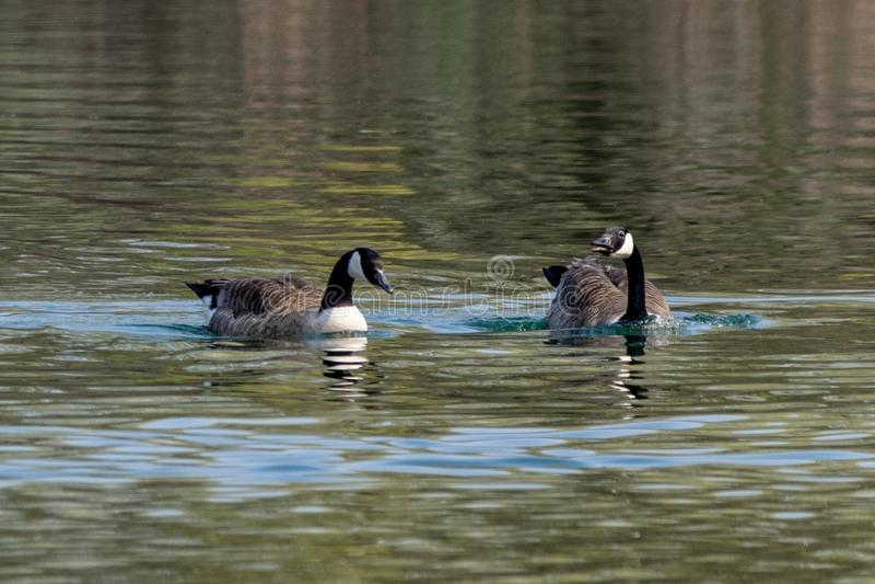 Paires de natation de canadensis de branta d'oies du Canada sur un lac en premier ressort avec des réflexions de végétation images libres de droits