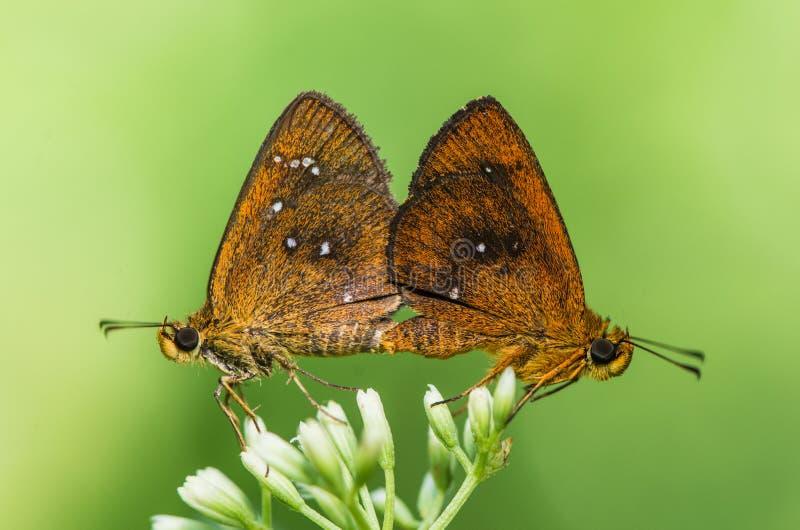 Paires de papillon images stock