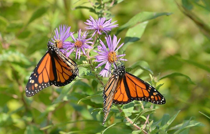 Paires de papillons de monarque masculin sur l'habitat de papillon de baie de Humber d'asters de Nouvelle Angleterre image stock