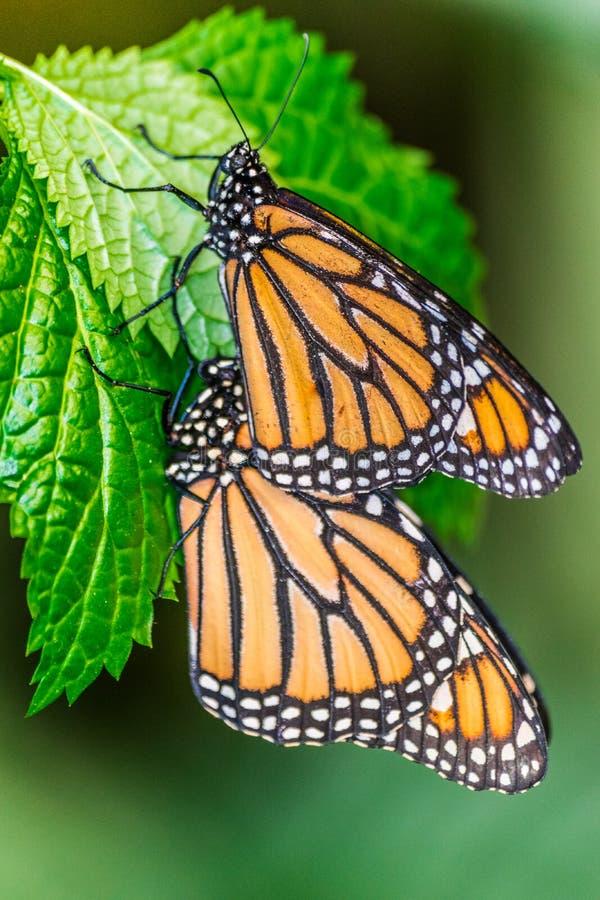 Paires de papillons de monarque se reposant sur les feuilles vertes image libre de droits