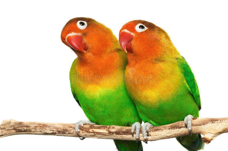 Paires de petits lovebirds photo libre de droits