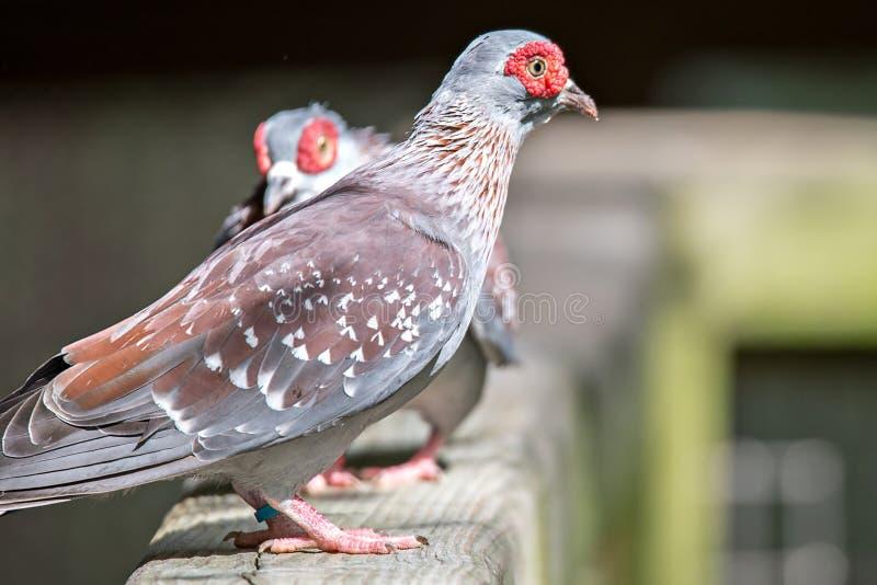 Paires de pigeon de Spekled ou de Guinée sauvage de Columba de pigeon sur le bois image stock
