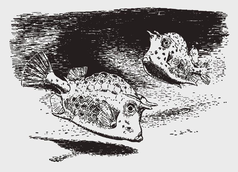 Paires de quadricornis gribouillés d'acanthostracion de cowfishes près du fond océanique illustration stock