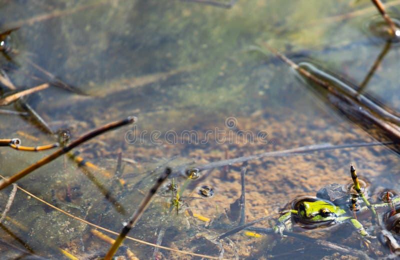 Paires de regilla Pacifique de Hyla de Treefrogs joignant tandis que submergé photographie stock libre de droits