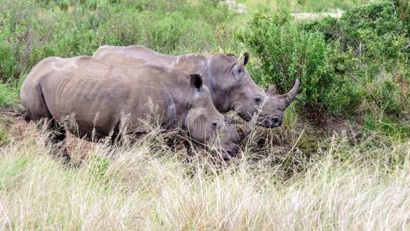 Paires de rhinocéros au point d'eau herbeux photo stock
