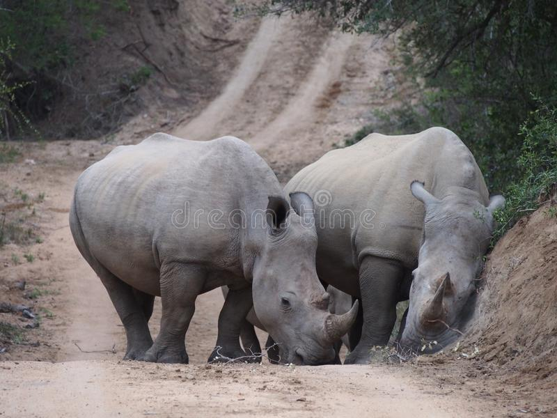 Paires de rhinocéros blanc sur la route photographie stock