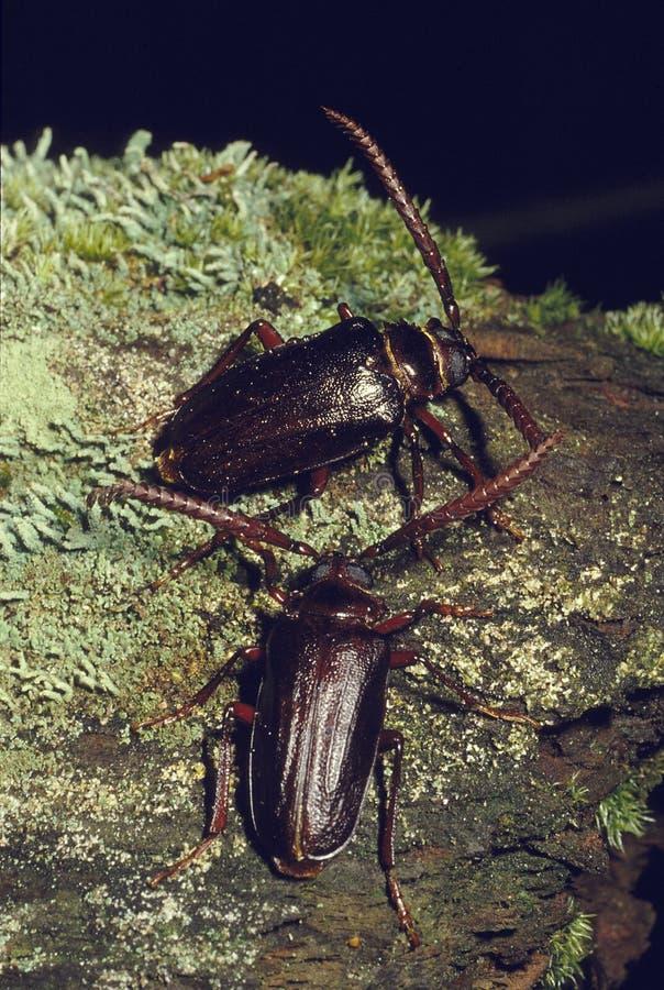 Paires de scarabées de foreur de pin photo libre de droits